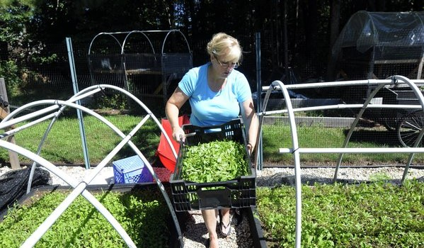 GLASTONBURY, CT; 7/25/2012:  Brenda Sullivan grows vegetables in 20 raised beds behind her home in Glastonbury. She carries a basket of freshly cut arugula to be weighted and bagged brfore bringing her crop to a farmers market at Manchester Community College. At her Thompson Street Farm, she grows leafy greens, tomatoes, lavender and herbs and sells them at two farmers markets.   MICHAEL McANDREWS | mmcandrews@courant.com